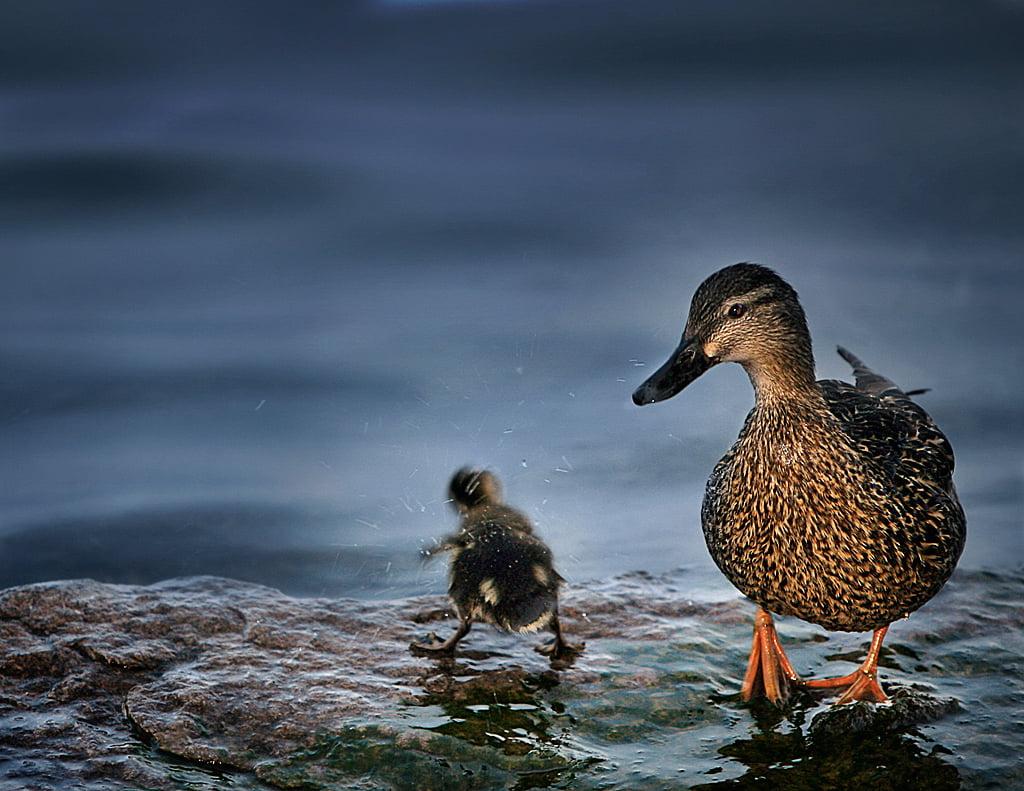 Shake it baby - Ducks on rock